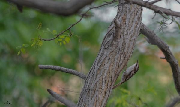 Grimpereaux